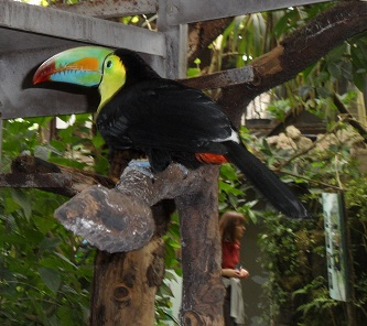 I was able to take a snap of this pretty toucan before it flew away © genevafamilydiaries.net